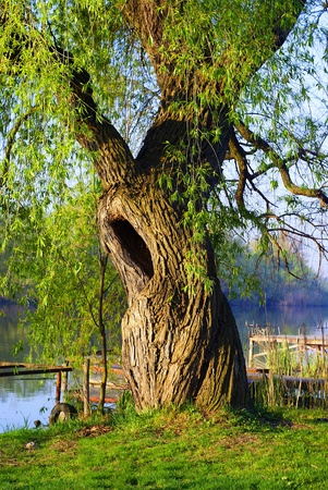 An old hollow willow along the Danube.