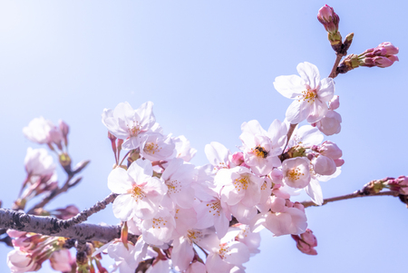 Photo pour Beautiful yoshino cherry blossoms sakura (Prunus yedoensis) tree bloom in spring in the castle park, copy space, close up, macro. - image libre de droit