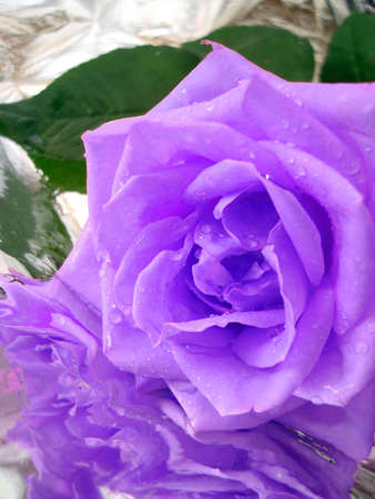 Christbaumkugeln Rose.Violet Rose On Silver Background With Drops Of Water