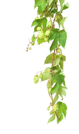 Branch of hop on white background