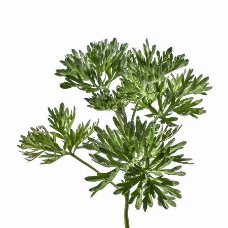 Photo pour Young green juicy wormwood stalk with lush foliage, close-up, isolated on a white background. Raster clipart of a medical wild Artemisia absinthium plant - image libre de droit