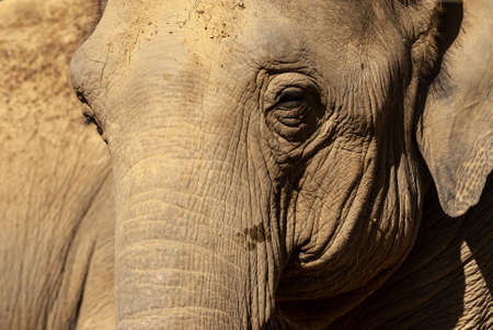 Photo for Close up portrait of an elephant. The face of a noble animal. - Royalty Free Image