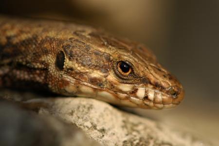 Lizard - Lagartija - Echse