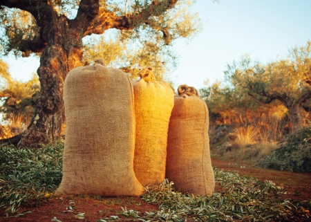 Horizontal image of three sacks of freshly harvested olives among the olive trees illuminated by the setting sun