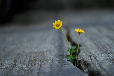 Foto de yellow flower growing on crack street, soft focus and dark background - Imagen libre de derechos