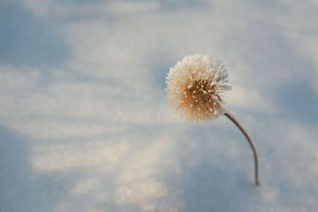 Winter hoar-frost flower. dandelion