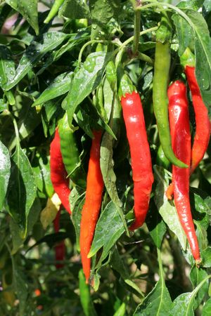 Very Hot chili peppers