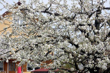 KirschblÃŒten