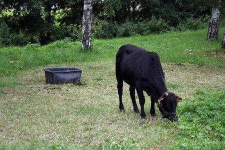Kleine schwarze Kuh