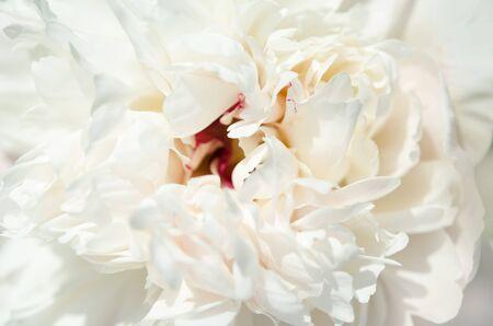 Photo pour Close up of beautiful white peony flower. Natural background. - Image - image libre de droit