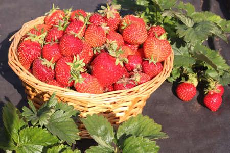 Foto für Ripe fresh strawberries in a basket on a garden background. The concept of healthy eating, harvesting. - Lizenzfreies Bild