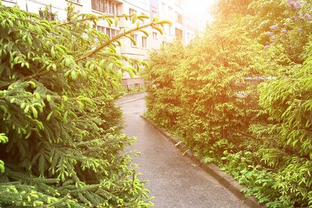 Foto de Asphalt path in the city courtyard surrounded by young firs in sunlight. In the background is a residential building - Imagen libre de derechos