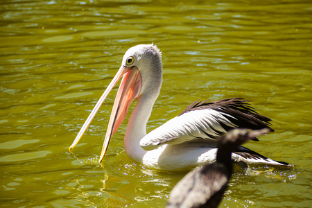 Photo pour beautiful white pelican with open beak swims in the river or lake, Australia, Adelaide. Pelicans are the large water birds - image libre de droit