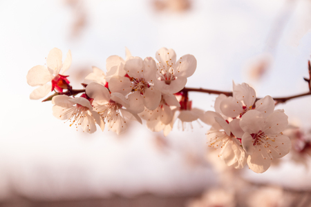 Photo pour Blooming spring tree. Spring floral background. Panoramic format - image libre de droit