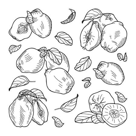 Illustration pour Composition of quince fruits: whole, halves, leaves. Hand-drawn vector illustration. - image libre de droit