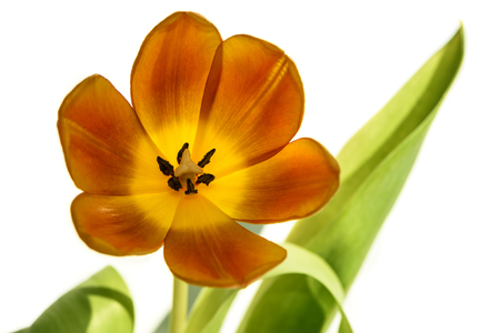 Photo pour Amazing orange with yellow tulip close up isolated on white background - image libre de droit