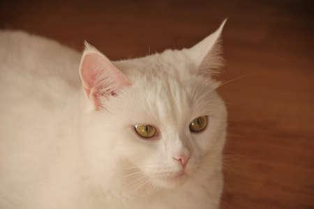 white cat of the British breed