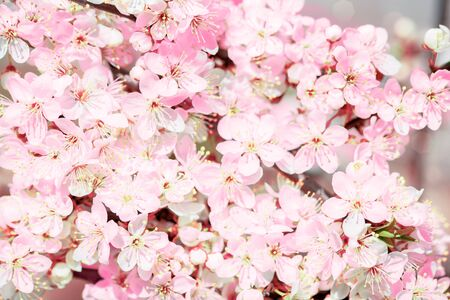 Photo pour Flowering pink cherry. Sakura in spring close up. Spring concept.Cherry flowers as background - image libre de droit