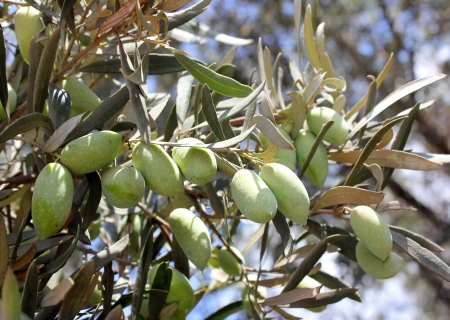 green olives, grades Syrian, on a branch of an olive tree