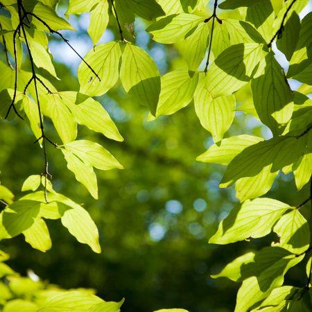 Photo pour   a beech tree forest during spring - image libre de droit