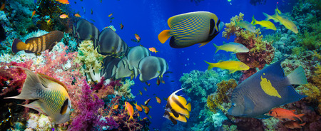Photo for Colorful underwater offshore rocky reef with coral and sponges and small tropical fish swimming by in a blue ocean - Royalty Free Image