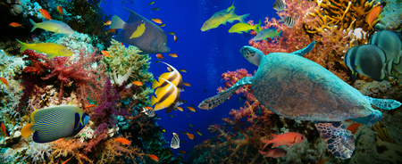 Photo for Tropical Anthias fish with net fire corals and shark on Red Sea reef underwater - Royalty Free Image