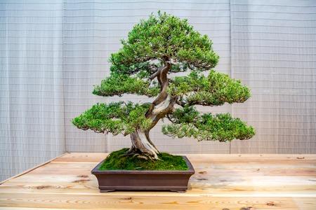 Foto de Miniature plant grown in a tray according to Japanese bonsai traditions - Imagen libre de derechos