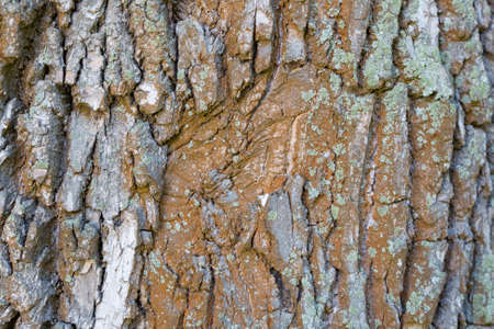 Foto de The textured surface of the bark of the old perennial deciduous tree - Imagen libre de derechos