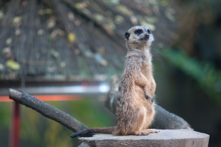 Meerkat on stands on look out