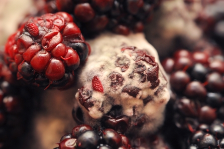 Macro photo of four mouldy blackberries covered in white fungus and decaying