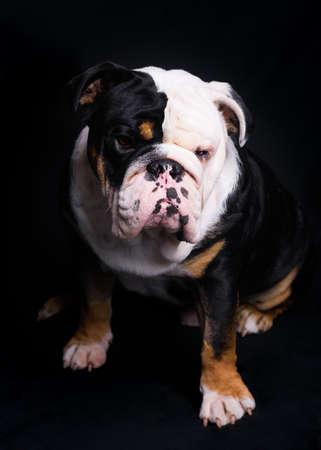 Photo pour Black and white English Bulldog sitting  on black background - image libre de droit