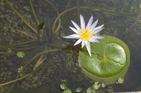 Photo pour Water lily blooming in small pond, Egypt - image libre de droit