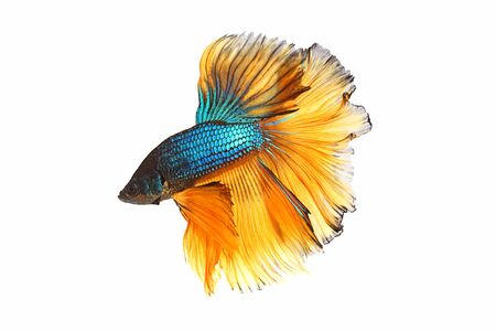 Photo pour Blue-yellow betta fighting fish with isolated a on white background - image libre de droit