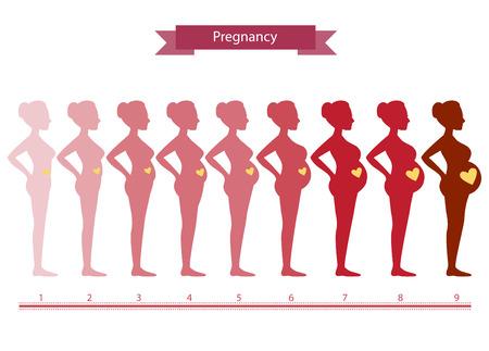 Illustration pour Changes in a woman's body in pregnancy,Silhouette pregnancy stages, Vector illustrations - image libre de droit