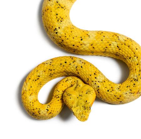 Photo pour Bothriechis schlegelii, Bothriechis schlegelii, the eyelash viper, is a venomous pit viper against white background - image libre de droit