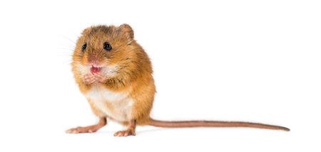 Foto de Eurasian harvest mouse, Micromys minutus, grooming in front of white background - Imagen libre de derechos