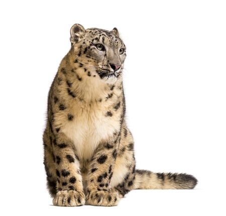 Photo for Snow leopard, Panthera uncia, also known as the ounce sitting against white background - Royalty Free Image