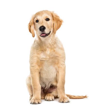 Foto de Puppy golden retriever 3 months old, isolated on white - Imagen libre de derechos