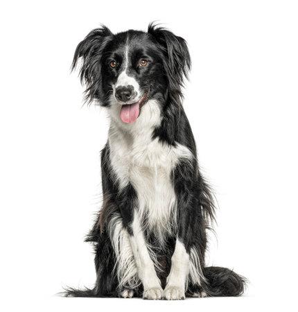 Foto de Happy black and white Crossbreed dog panting, isolated on white - Imagen libre de derechos