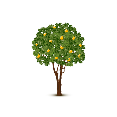Illustration for A Vector orange tree on white background. - Royalty Free Image