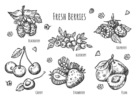 Illustration pour Vector illustration of fruit botany set. Realistic view of strawberry, raspberry, cherry, blueberry, blackberry, plum branches with leaves. Vintage hand drawn style. - image libre de droit