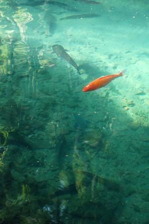 Orange Koi , fish