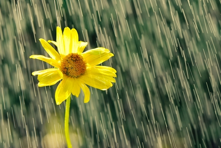 Yellow flower in drops of rain.