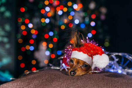 Photo pour The Toy Terrier is a yellow New Years dog. - image libre de droit