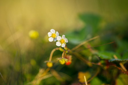 Blooming strawberry grows among the grass
