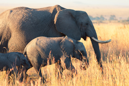Elephants at sunset in Amboseli national park in Kenya