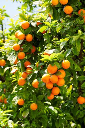 Photo pour Orange tree - image libre de droit