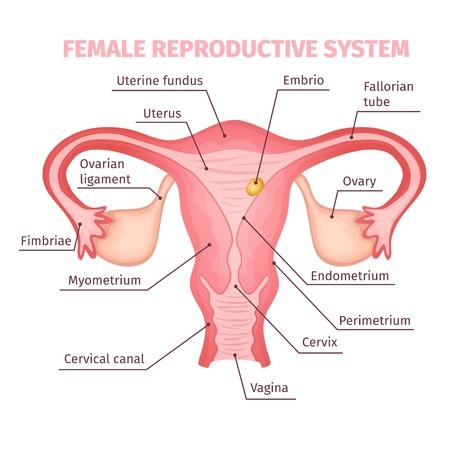 Illustration pour Female Reproductive System Scientific Template - image libre de droit