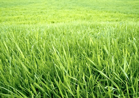 Green grass background.  The wallpaper