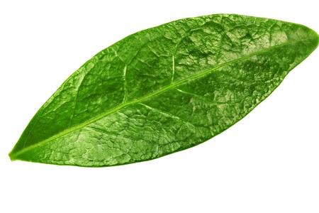 Single   green leaf isolated on white background.
